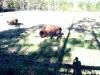 zoo-buffalo