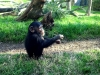 zoo-chimp-baby