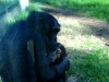 zoo-chimp-nursing