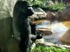 zoo-gorilla