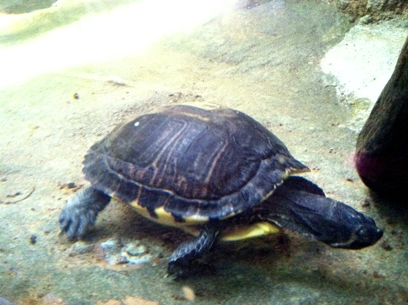 zoo-turtle