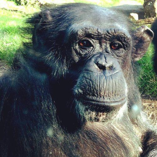 NC Zoo, lilkidthings, andrea updyke, chimp