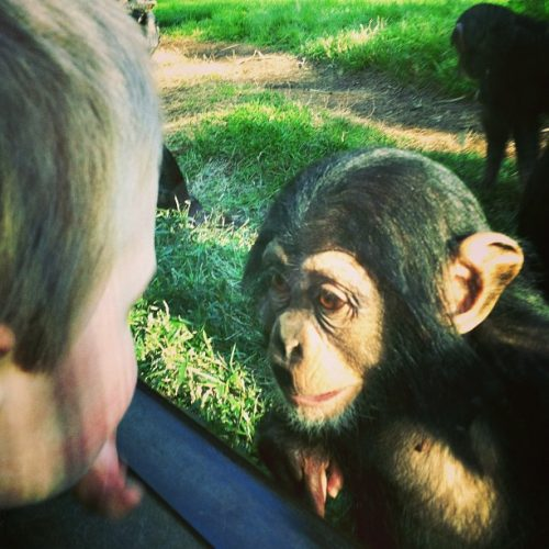 NC Zoo, lilkidthings, andrea updyke, baby chimp,