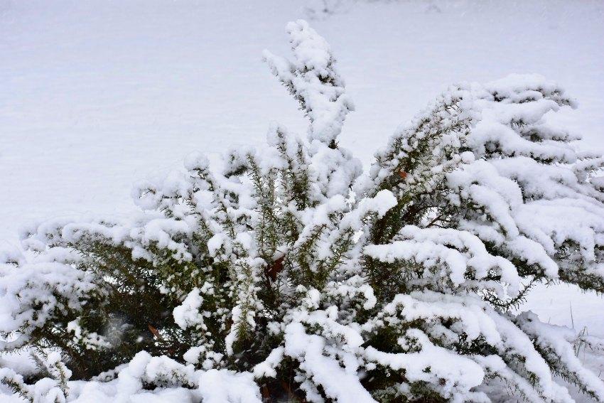 rosemary snow