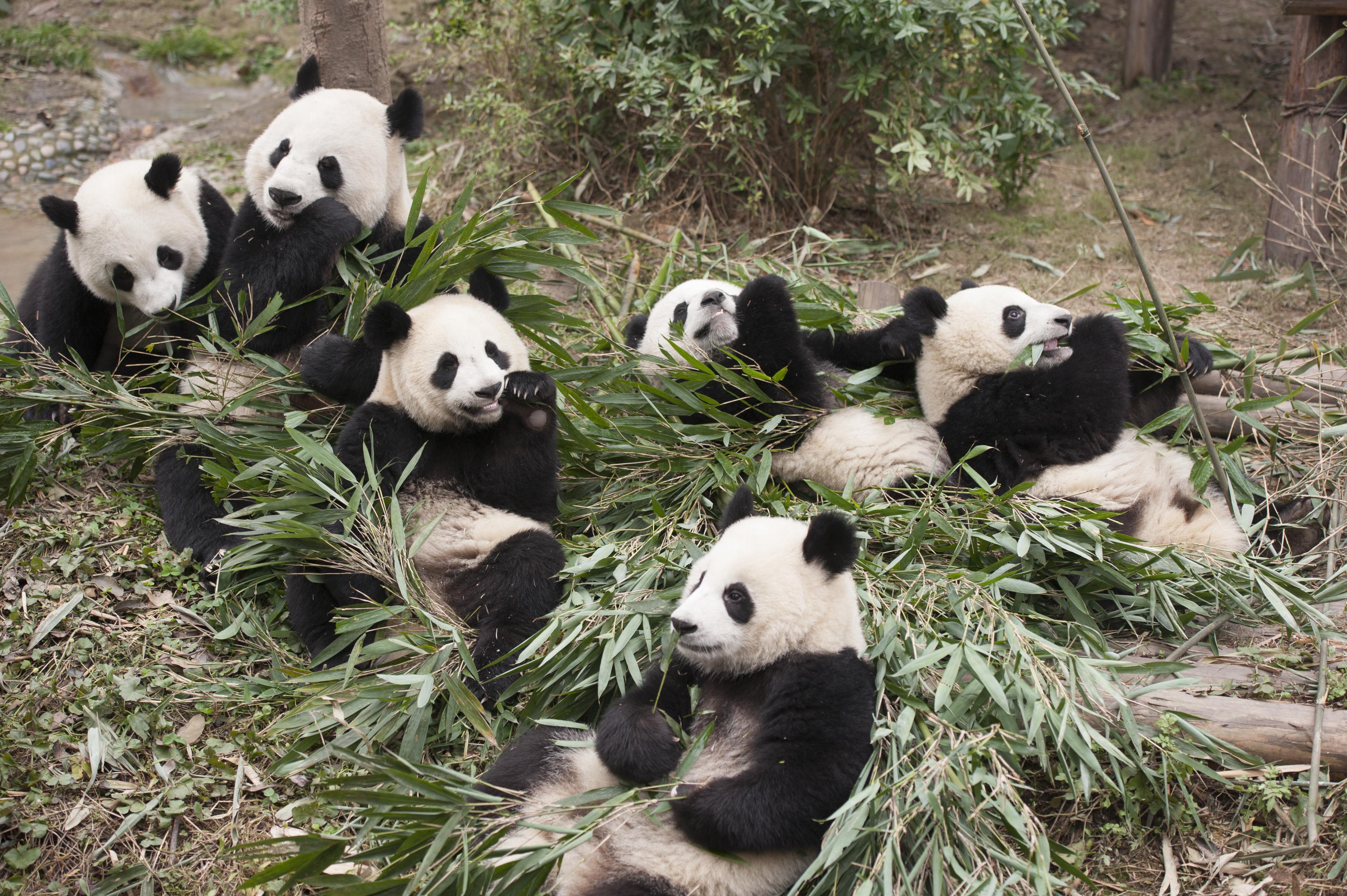 Pandas 3D movie baby pandas