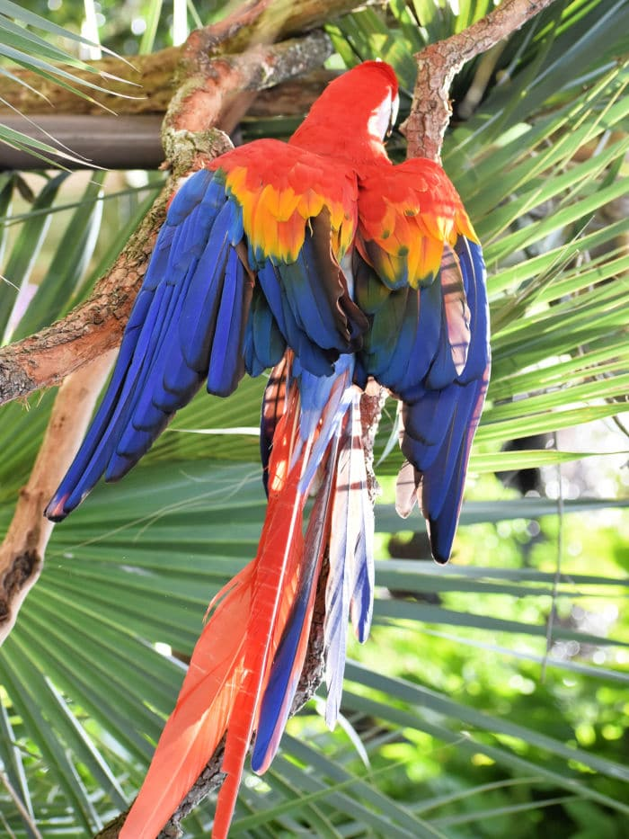 Macaw at Alligator farm