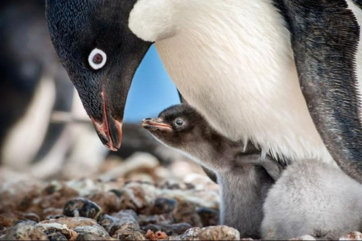 The Disneynature Penguins are here and they are Adorable!