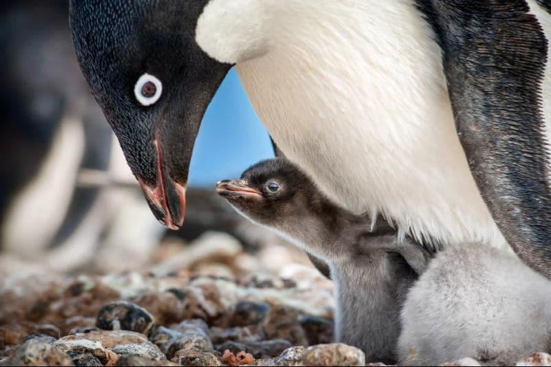 Penguins Close up
