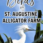 Birds of St. Aug