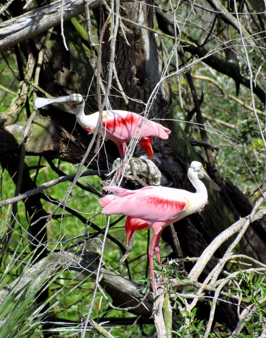 Rookery pink birds